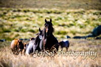 Brumbies of the Kosciuszko February 2017